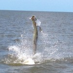 Tarpon fishing charters in Naples